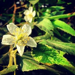 Bunga keres/ kersen/ cherry