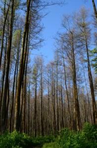 Memasuki hutan pinus gosong