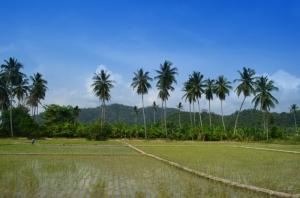 Sawah dengan background pohon kelapa