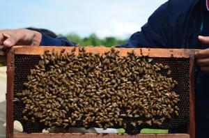 Sarang lebah yang nantinya bisa diproses jadi madu