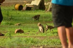 Monyet disini banyak dan tidak nakal