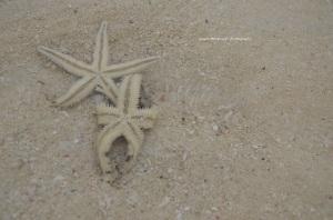 Ini bintang laut lentur lho, bisa balikkan badan sendiri