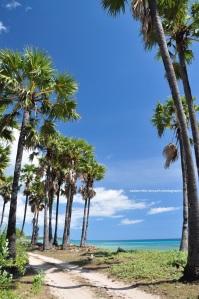 pohon lontar menjadi salah satu khas di pantai sini