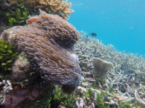 Nemo yang gak belang